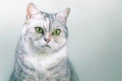 Portret van een grijze zilveren kat Stock Afbeeldingen