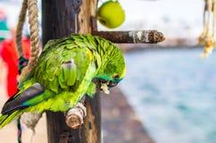 Portret van een groene papegaai in een restaurant dichtbij strand stock foto