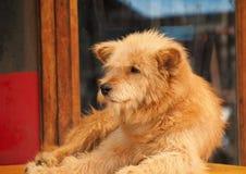 Portret van een grote harige hond royalty-vrije stock foto's