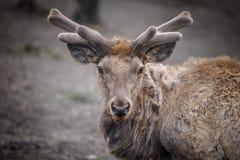 Portret van een hert die dicht bij het bos liggen stock afbeelding