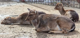 Portret van een hert in een dierentuin stock foto