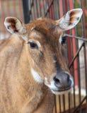 Portret van een hert in een dierentuin stock fotografie