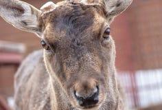 Portret van een hert in een dierentuin royalty-vrije stock afbeelding