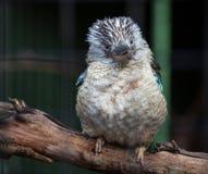 Portret van een het lachen kookaburra, dacelonovaeguineae, met grote bek Blauw-gevleugelde kookaburra australië stock fotografie