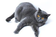 Portret van een het liggen Britse shorthairkat, op witte achtergrond royalty-vrije stock afbeelding