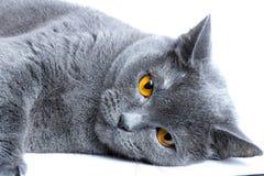 Portret van een het liggen Britse shorthairkat, op witte achtergrond stock afbeelding