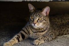 Portret van een het liggen tijgerkat met gele ogen, kat op de rechterkant van foto Royalty-vrije Stock Afbeeldingen