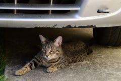 Portret van een het liggen tijgerkat met gele ogen, kat op de rechterkant van foto Stock Afbeeldingen