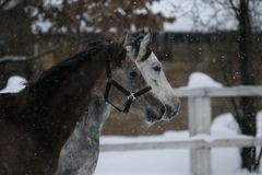 Portret van een het lopen Arabisch paard in de winter royalty-vrije stock afbeeldingen