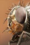 Portret van een hommel-vlieg Royalty-vrije Stock Foto's
