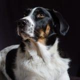Portret van een hond Stock Fotografie