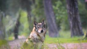 Portret van een hond in bos stock videobeelden