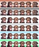Portret van een hond van chocoladelabrador Stock Afbeelding