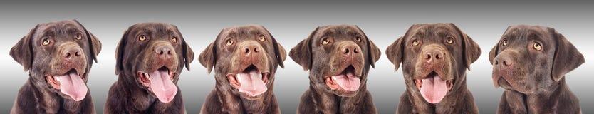 Portret van een hond van chocoladelabrador Royalty-vrije Stock Foto's
