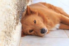Portret van een hond die dichtbij de muur liggen stock afbeeldingen