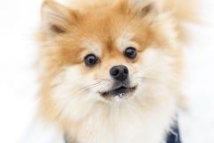 Portret van een hond van gemberpomeranian op een achtergrond van de sneeuwwinter heb het stemmen royalty-vrije stock foto's