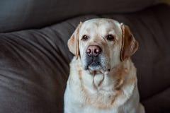 Portret van een hond van Labrador op grijze achtergrond Royalty-vrije Stock Foto's