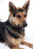 Portret van een hond op een witte achtergrond Stock Fotografie