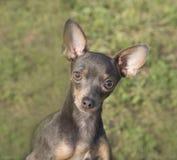 Portret van een hondras dat Terrier op de achtergrond van een groen gazon stock afbeeldingen