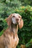 Portret van een Hongaarse hond Royalty-vrije Stock Foto's