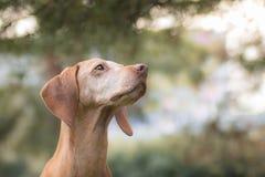 Portret van een Hongaarse hond Royalty-vrije Stock Afbeeldingen