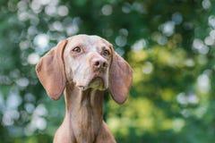 Portret van een Hongaarse hond Stock Afbeelding