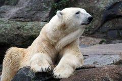 Portret van een Ijsbeer Royalty-vrije Stock Afbeeldingen