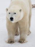 Portret van een Ijsbeer Close-up canada stock foto's