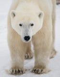 Portret van een Ijsbeer Close-up canada royalty-vrije stock foto's