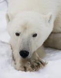 Portret van een Ijsbeer Close-up canada stock foto