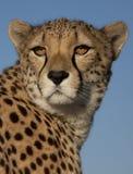 Portret van een jachtluipaard Royalty-vrije Stock Foto