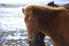 Portret van een jong bruin Ijslands veulen stock foto's