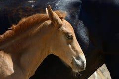 Portret van een jong bruin merrieveulen Stock Fotografie
