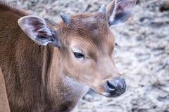 Portret van een jong hert stock afbeeldingen