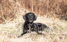 Portret van een jong zwart puppy van Labrador Stock Foto's