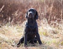 Portret van een jong zwart puppy van Labrador Stock Afbeeldingen