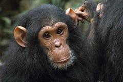 Portret van een jonge chimpansee Royalty-vrije Stock Foto
