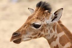 Portret van een jonge giraf stock foto