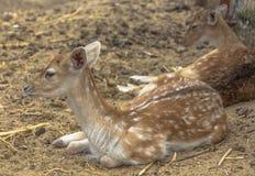 Portret van een jonge kuit die in het droge gras liggen Hadjidimovo, Bulgarije stock foto