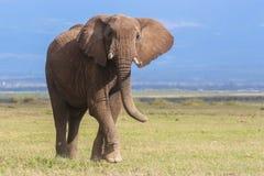 Portret van een jonge stierenolifant royalty-vrije stock afbeelding