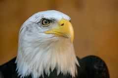 Portret van een Kale Eagle Haliaeetus-leucocephalus stock foto