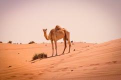 Portret van een kameel stock afbeeldingen