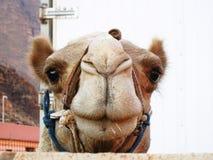 Portret van een kameel die over een omheining kijken stock foto