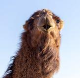 Portret van een kameel tegen de blauwe hemel royalty-vrije stock afbeelding