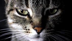 Portret van een kat stock footage