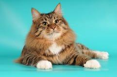 Portret van een kat met witte sokken Royalty-vrije Stock Foto's