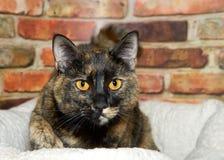 Portret van een kat van de tortiegestreepte kat Stock Afbeelding
