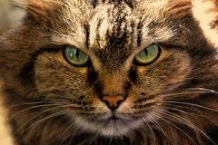Portret van een kattenclose-up Katten` s snuit met mooie lichtgroene ogen royalty-vrije stock foto
