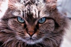 Portret van een kattenclose-up Kattengezicht met mooie blauwe ogen stock foto's