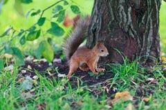 Portret van een kleine eekhoorn Royalty-vrije Stock Afbeeldingen